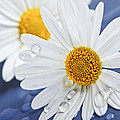 Daisy Flowers With Water Drops by Elena Elisseeva