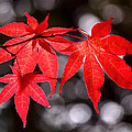 Dancing Japanese Maple by Rona Black