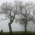 Dancing Oaks In Fog - Central California