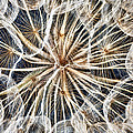 dandelion Print by Stylianos Kleanthous
