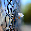 Dandelion Wish by Laura Fasulo