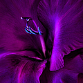 Dark Knight Purple Gladiola Flower by Jennie Marie Schell