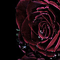 Dark Rose 2 by Ann-Charlotte Fjaerevik