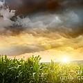 Dark Skies Looming Over Corn Fields  by Sandra Cunningham