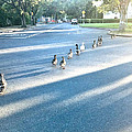 Davis Ducks by Cadence Spalding