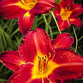 Day Lilies by Adam Romanowicz