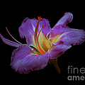 Daylily Bloom In The Dark by ImagesAsArt Photos And Graphics