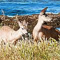 Deer On The Beach At Point Lobos Ca by Artist and Photographer Laura Wrede