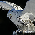 Destiny's Journey - Snowy Owl by Inspired Nature Photography Fine Art Photography