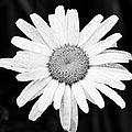 Dew Drop Daisy by Adam Romanowicz