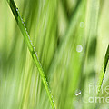 Dew Drops In Long Sunlit Grass by Natalie Kinnear