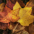 Dew On Autumn Leaves by Scott Norris