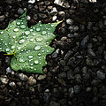Dew On Leaf by Scott Norris
