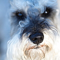 Dog 2 Print by Wingsdomain Art and Photography