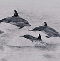 Dolphins by Lucy D