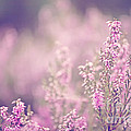 Dreamy Pink Heather by Natalie Kinnear