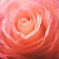 Dreamy Pink Rose
