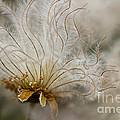 Dryas Octopetala by Heiko Koehrer-Wagner