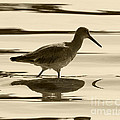 Early Morning In The Moss Landing Harbor Picture Of A Willet by Artist and Photographer Laura Wrede