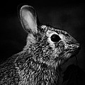 Eastern Cottontail Rabbit Portrait by Rebecca Sherman