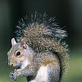 Eastern Gray Squirrel by Millard H. Sharp