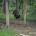 Eastern Tom Turkey Print by Mark McReynolds