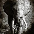 Elephant Bull Print by Johan Swanepoel