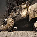Elephant - lying down Print by Johan Swanepoel