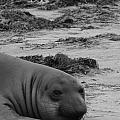 Elephant Seal Conteplation by Gwendolyn Barnhart