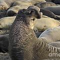 Elephant Seals by Bob Christopher
