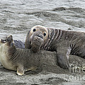 Elephant Seals Mating by Mark Newman