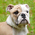 English Bulldog Puppy by Natalie Kinnear