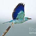Eurasian Roller by Johan Swanepoel