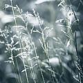 Evening Grass Flowering by Elena Elisseeva