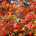 Fall Foliage Colors 22 by Metro DC Photography