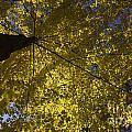 Fall Maple by Steven Ralser