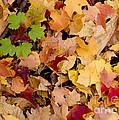 Fall Maples by Steven Ralser