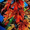 Fall Reds Print by Robert Bales