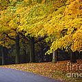 Fall road and trees Print by Elena Elisseeva