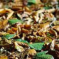Fallen Leaves by Carlos Caetano