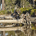 Fallen Trees Reflected In A Beach Tidal Pool by Bruce Gourley