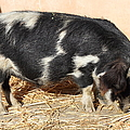 Farm Pig 7d27356 by Wingsdomain Art and Photography
