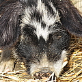 Farm Pig 7d27361 by Wingsdomain Art and Photography