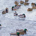 February  And Cold Ducks by Rosemarie E Seppala