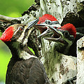 Female Pileated Woodpecker At Nest by Mircea Costina Photography