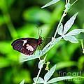 Female Pink Cattleheart Butterfly by Jane Rix