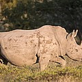 Female White Rhinoceros by Science Photo Library