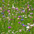 Field Of Flowers by Leyla Ismet