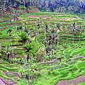 Fields of Bali