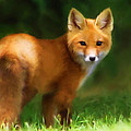 Fiery Fox by Christina Rollo